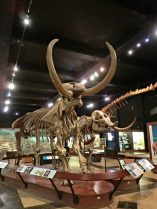 The Buesching Mastodon (left, male) and the Owosso Mastodon (right, female)