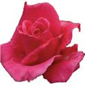Survivor Rose