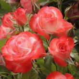 Coretta Scott King - Photo Credit: Weeks Roses