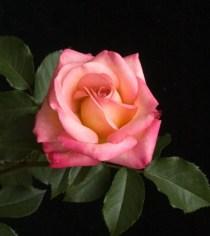 'Fitzhugh's Diamond' Miniflora Rose