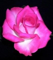 Acclaimed 'Joy' Miniature Rose