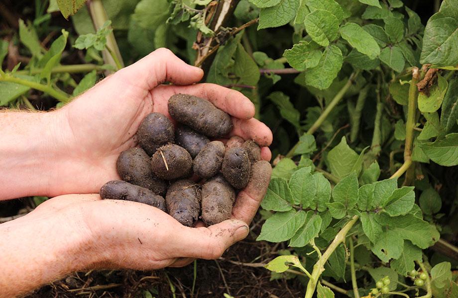 gathering potatoes from garden