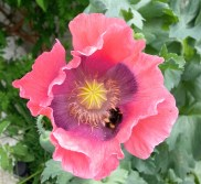 Ornamental Poppy