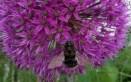 Tree Bumblebee (dark)