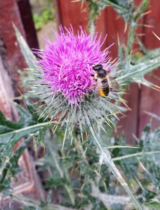 mason bee on thistle