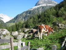 Austria is famed for its cows!