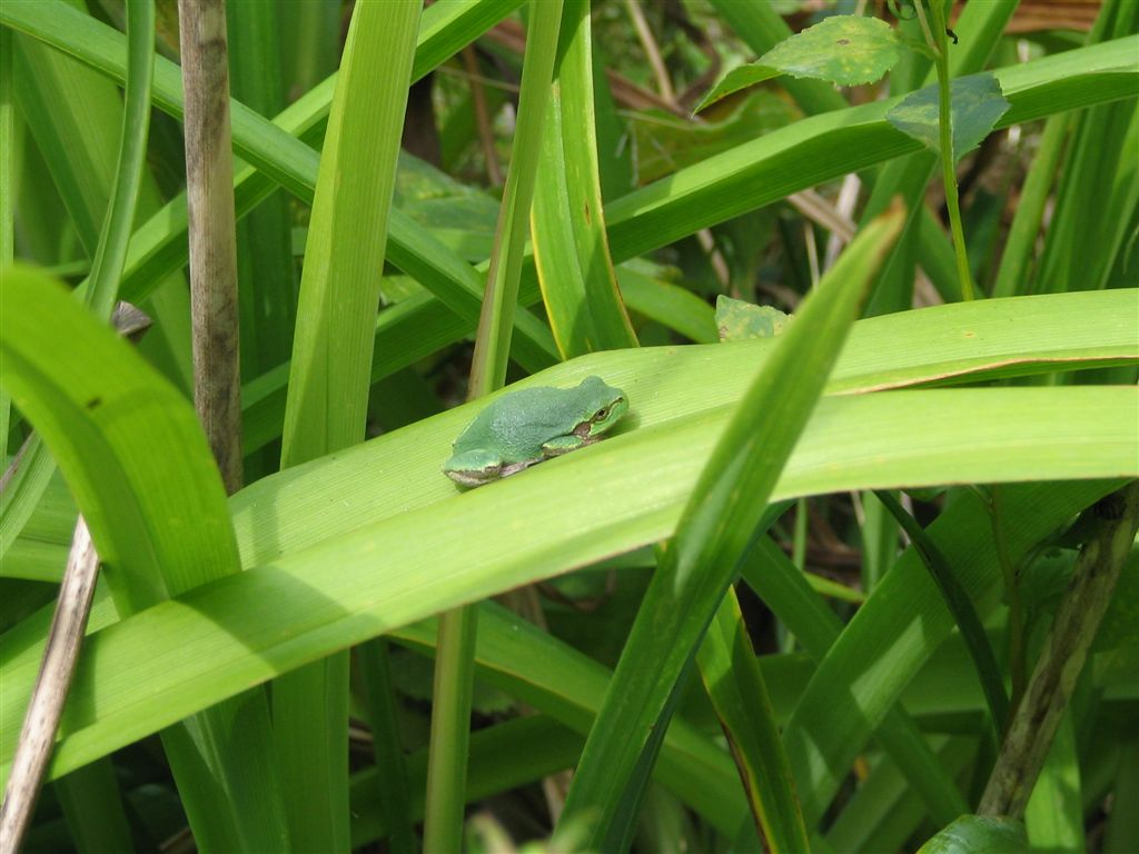 Green Frog Near Indria, August 2006, photo by Skywire, all rights reserved