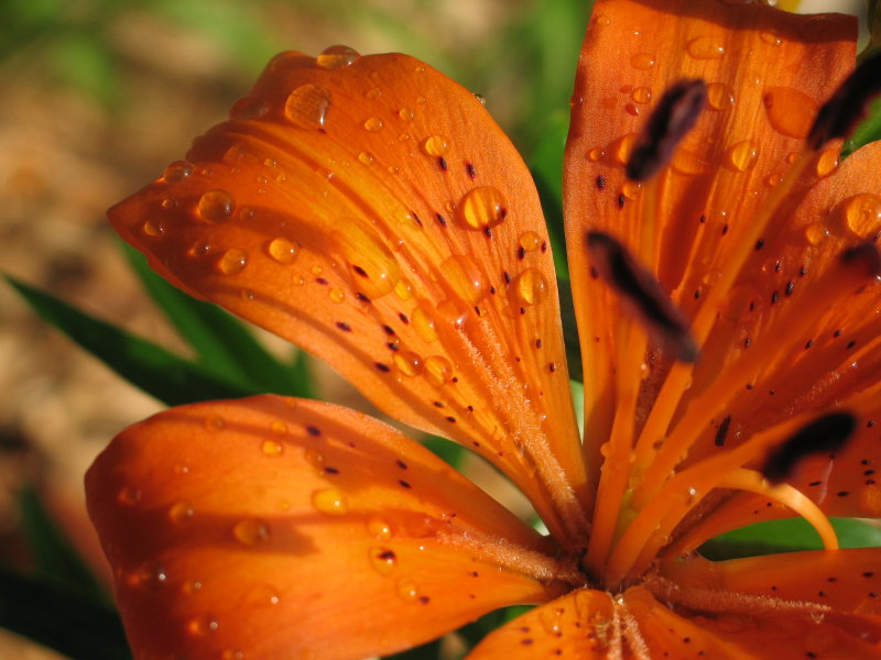 Hardy Lily After The Storm, June 20th, 2007, photo © 2007 by QuoinMonkey. All rightsreserved.