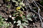 Oregon grape holly, Mahonia repens, is always an early bloomer in the park.