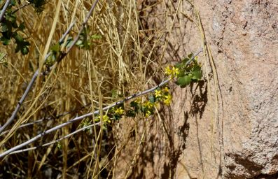 Boulder at north end of garden provides a warm spot for golden currant, Ribes aureum, to bloom.