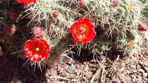 Our transplanted cactus in flower. May 16, 2015.