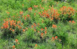 Indian paintbrush (Castelleja integra) flourishes in Rick's backyard in Lakewood. We dare to dream!