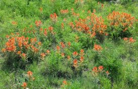 Indian paintbrush (Castelleja integra) flourishes in Rick's backyard in Lakewood. We dare to dream!