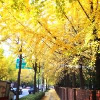 【韓國.秋.季節限定】秋色韓國.尋找美麗的銀杏