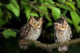 mountain owls