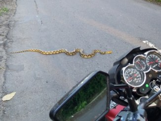 When Snake Crossing Over The road