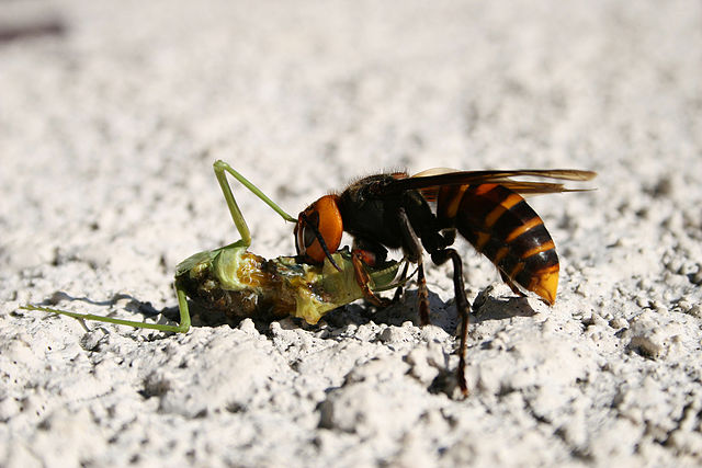 {focus_keyword} The Importance of Insect Suffering 640px Waspfeedingonmantis