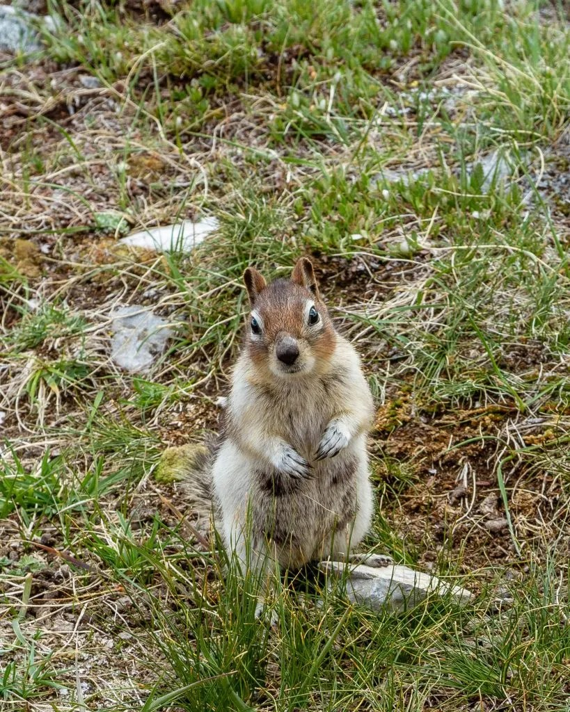 Little squirrel in Kananaskis.