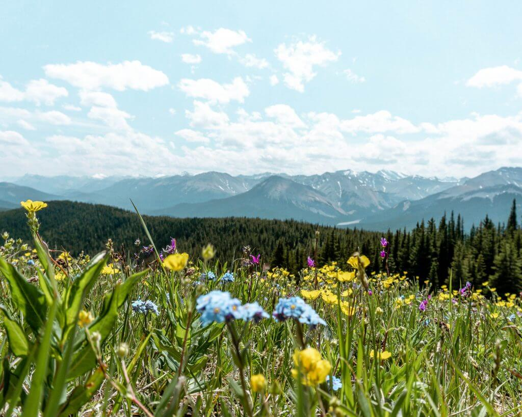 Wildflowers on a mountain in Alberta.