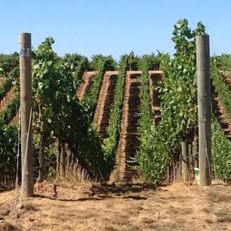 The rolling vineyards at Paul Hobbs