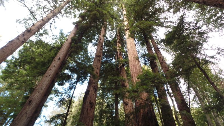Sustainable Wood Supply - Ethical Sourcing of Redwood Burl Inc. - California, USA