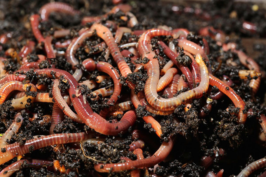 Is It Good To Use Red Worms For Composting?