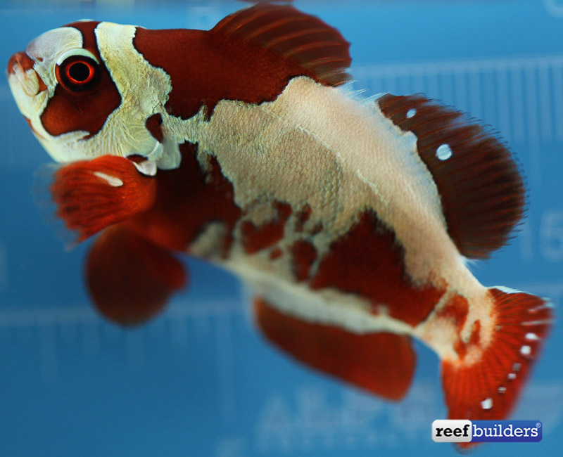 peacekeeper maroon clownfish