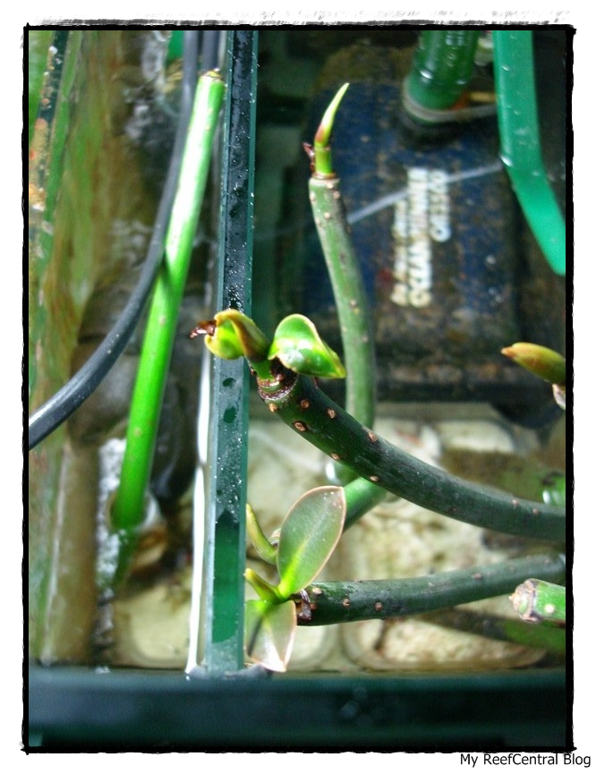Refúgio: Mangues & Macro Alga Chaetomorpha(Português) (5/6)