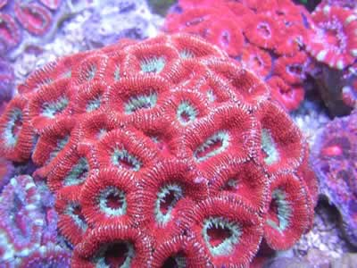 Australian Acan Coral Red Acan