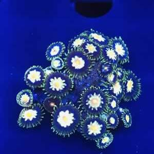 Rare Zoanthids Coral