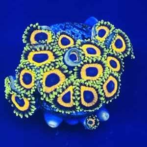 Zoanthid Coral Online
