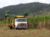 Reefwalk 2013: Harvesting sugarcane. We all need to eat.