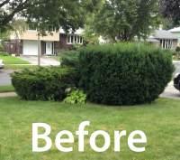 Lori's shrubs before the rain garden.