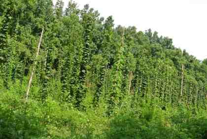 Lots 'n lots of hops!