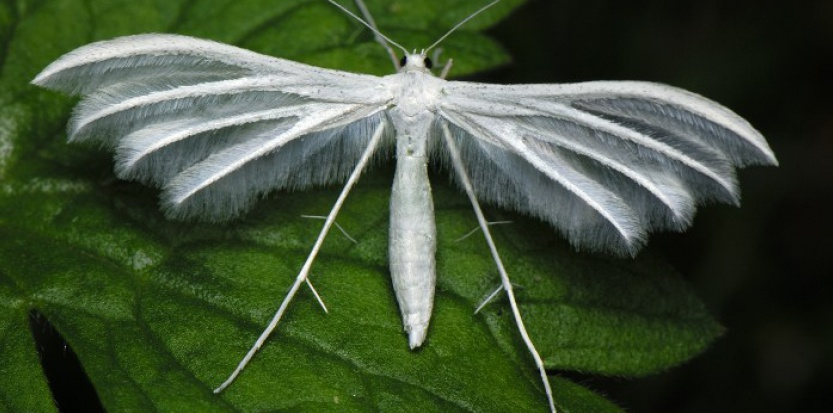 Le ptérophore blanc (Pterophorus pentadactyla) est un insecte lépidoptère (ou papillon) dont les ailes ressemblent à des plumes. On le rencontre de mai à septembre dans les herbes et broussailles d'Europe, d'Asie mineure et d'Iran. ©THOMAS MARENT