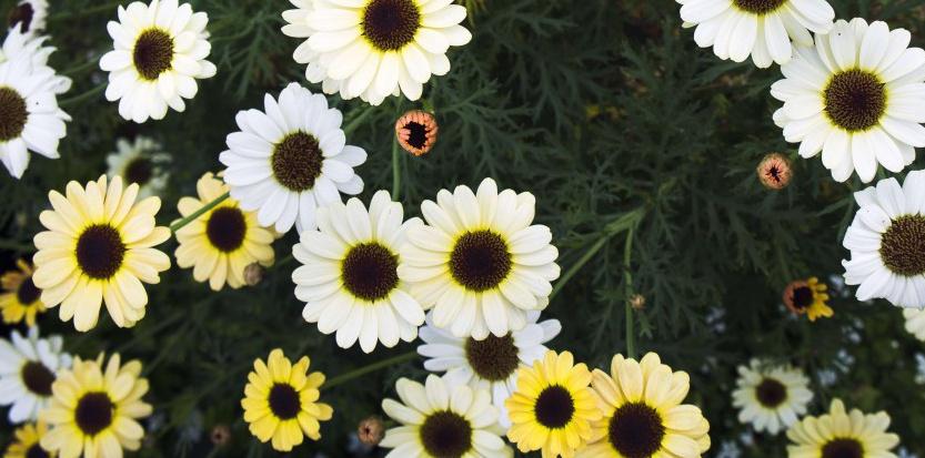 Les marguerites comme 367 autres plantes étaient encore en fleurs le 1er janvier en Grande-Bretagne. Sojka Libor/AP/SIPA