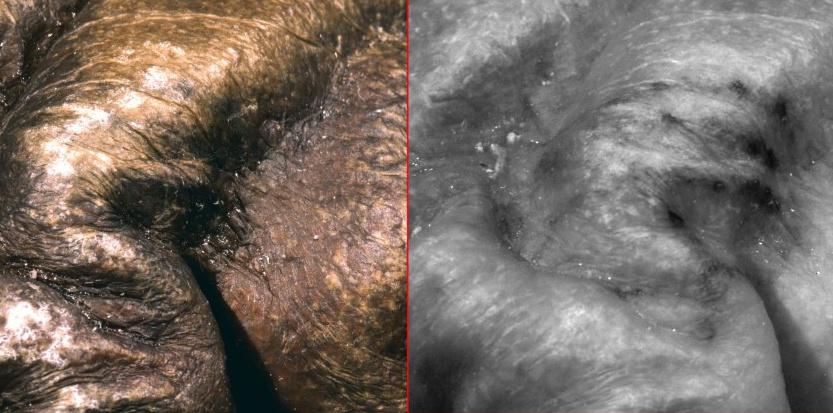 """Une technique d'imagerie multispectrale (couvrant toute la gamme de longueurs d'ondes de l'infrarouge à l'ultra-violet) qui permis d'identifier ces bâtonnets de 1 à 3mm d'épaisseur, sur 4 à 7 cm de long sur le corps momifié d'Otzi, le célèbre """"Homme des Glaces"""" © Courtesy Marco Samadelli"""