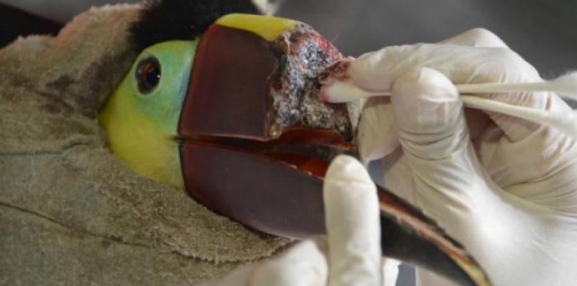 Ce toucan, maltraité par un groupe de jeunes au Costa Rica, bénéficiera d'une prothèse.    (c) Afp