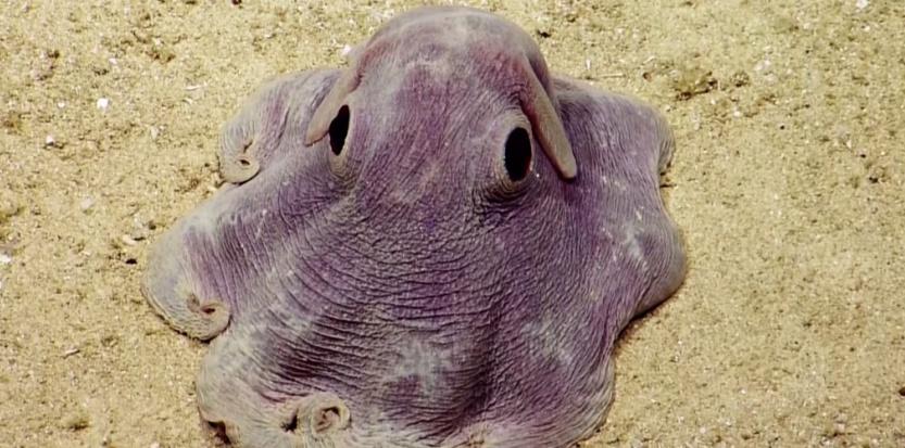 Une pieuvre Dumbo a été filmée en action par une équipe de chercheurs du programme d'exploration Nautilus.  © Capture d'écran de Youtube