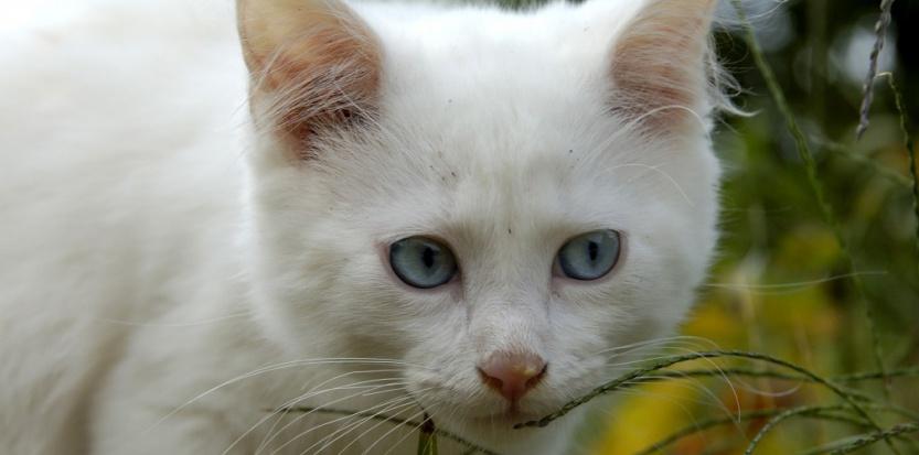 Un chat blanc aux yeux bleus a une chance sur deux d'être sourd. ©A. Demotes / Photononstop