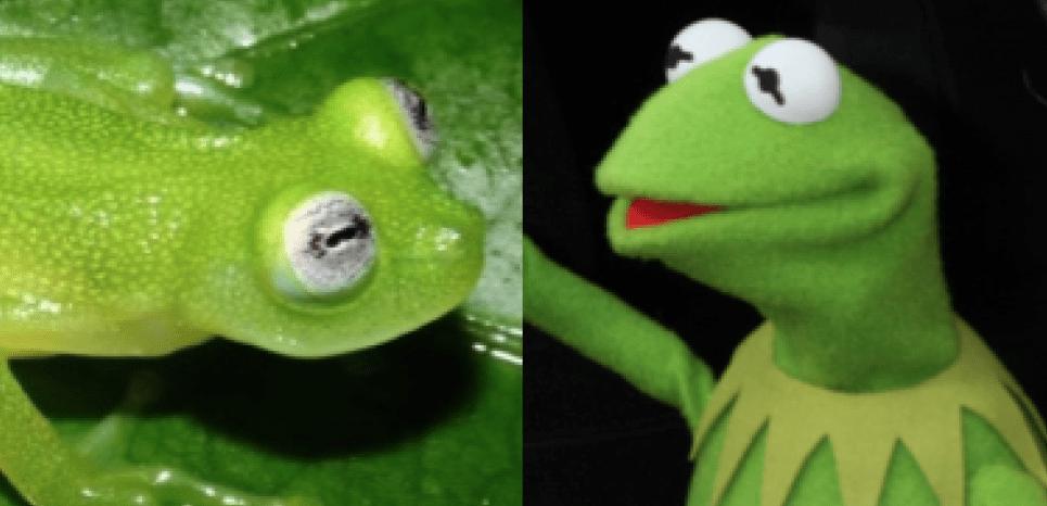 La grenouille découverte ressemble terriblement à Kermit. ©Kubicki et al. / ©Hutchins/NEWSCOM/SIPA