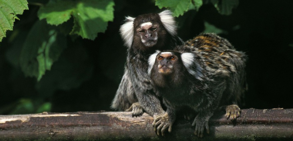 Le Ouistiti commun vit dans les forêts du nord-est du Brésil, en petits groupes familiaux de 4 ou 5. © Gerard Lacz/Rex Featu/REX/SIPA