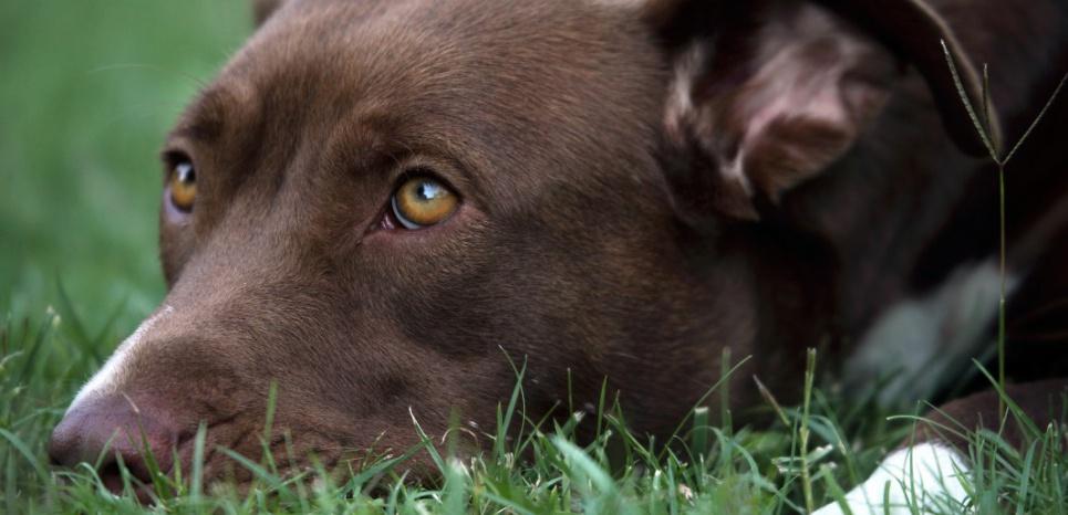 Le regard coupable que nous montrent nos chiens ne traduirait pas leur mauvaise conscience... © Eric Guilloret/Biosphoto