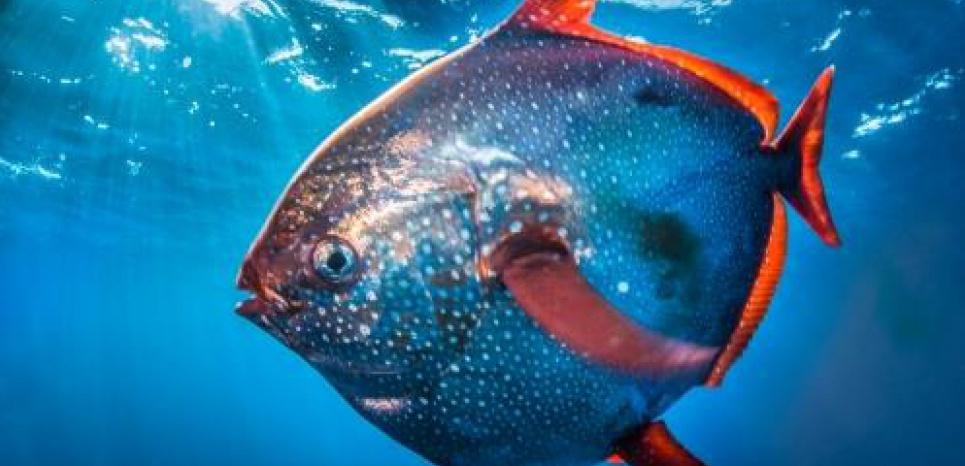 Le Lampris royal (Lampris guttatus), présent dans toutes les mers du globe, est le seul poisson entièrement endothermique connu à ce jour. © NOAA