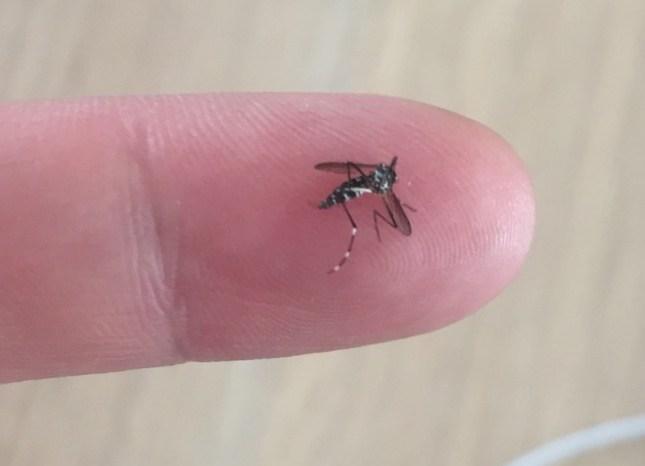 Mesurant à peine 5 millimètres, le moustique tigre n'est pas toujours facile à identifier. ©Vigilance-moustiques