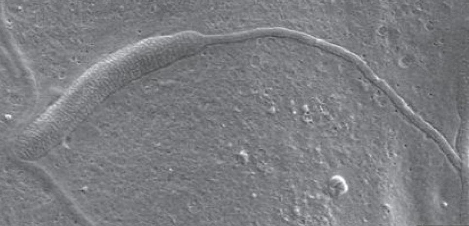Ceci est un fragment de spermatozoïde fossilisé vieux de 50 millions d'années. ©Biology Letters/Royal Society Publishing