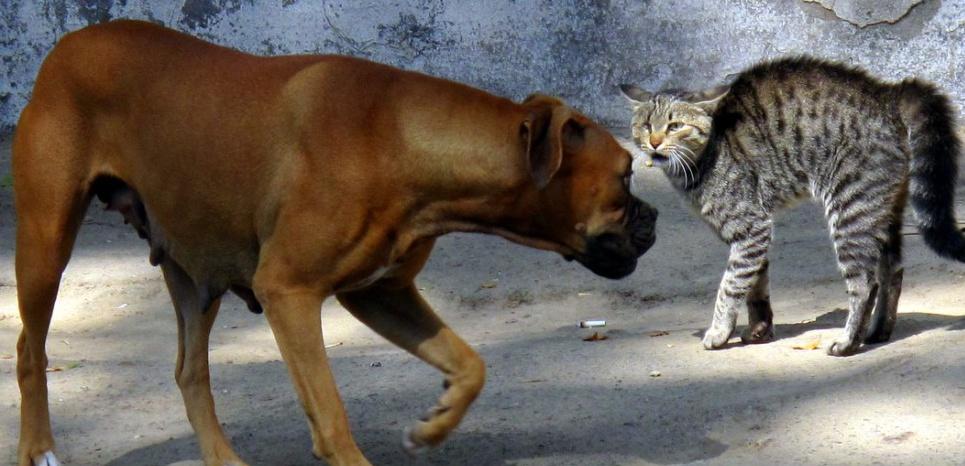 Flanquer une raclée à un chien un peu trop envahissant ? Ce chat en est tout à fait capable © Peretz Partensky