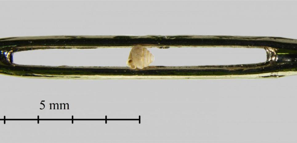 Angustopila dominikae : cet escargot, sans doute le plus petit découvert, tient dans le chas d'une aiguille. Dr. Barna Páll-Gergely and Nikolett Szpisjak.