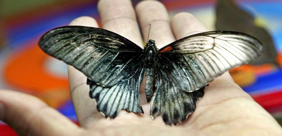 Papilio memnon gynandromorphe ©ED WRAY/AP/SIPA