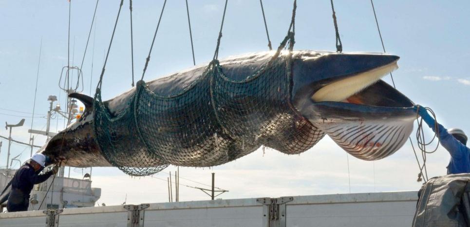 """Une baleine de Minke, attrapée pour des """"recherches scientifiques"""", déposée dans le port de Kushiro (Japon). © kyodowc119103.JPG k/NEWSCOM/SIPA"""